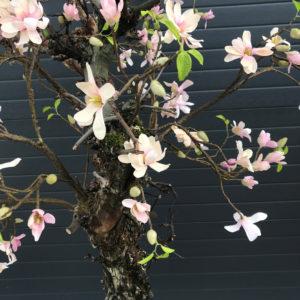 Zijden magnolia boom